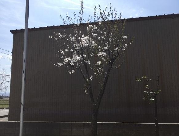 桜 by 北陸工場