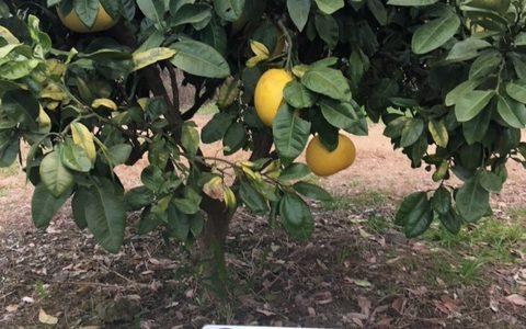 熊本の巨大果物「晩白柚(ばんぺいゆ)」