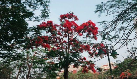 今年も火炎樹が綺麗です!!!
